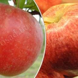 Дерево-Сад. Двухсортовые саженцы яблонь.   Осенние сорта. КАМЕО+ФУДЖИ БЕНИ ШОГУН, 2 года