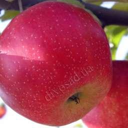 Двухлетние саженцы яблони БРЕБУРН ХИЛЛ ВЕЛЛ, 2 года