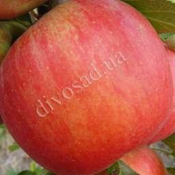 Двухлетние саженцы яблони Яблоня ЧЕМПИОН РЕНО, 3 года