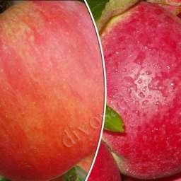 КРУПНОМЕРЫ. Плодовые деревья Яблоня ЧЕМПИОН РЕНО+ПЕРЛИНА КИЕВА, 3 года