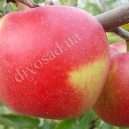 Двухлетние саженцы яблони ДЕЛЬБАР ЖЮБИЛЕ, 2 года