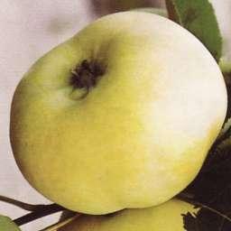 Летние сорта яблонь ДОНЕШТА, 2 года