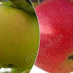 Дерево-Сад. Двухсортовые саженцы яблонь.   Осенние сорта. МУТСУ+ЧЕМПИОН АРНО,  контейнер 7 л