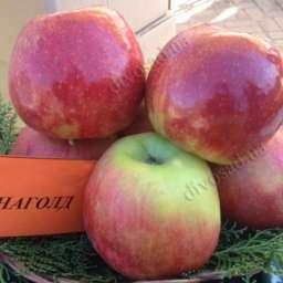 Двухлетние саженцы яблони ДЖОНАГОЛД, 2 года