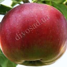 Двухлетние саженцы яблони ДЖУМБО ПОММ, 2 года