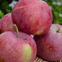 Двухлетние саженцы яблони ФУКУТАМИ, 2 года