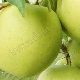 Двухлетние саженцы яблони ГОЛДЕН ДЕЛИШЕС, 2 года