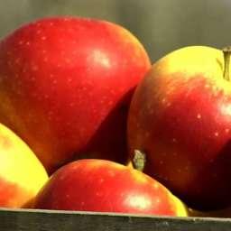 Двухлетние саженцы яблони КАНЗИ, 2 года