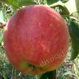 Двухлетние саженцы яблони КАРИОТ-7, 2 года