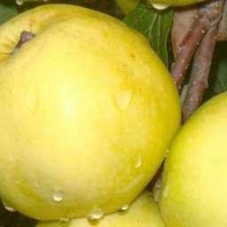 Зимние сорта яблонь ЛУНА, 2 года