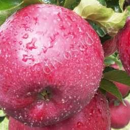 Двухлетние саженцы яблони МЕКИНТОШ, 2 года