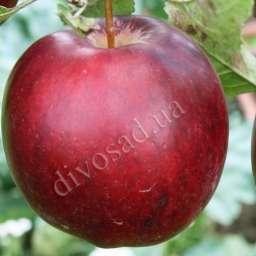 Двухлетние саженцы яблони МОДИ (CIVG198), 2 года
