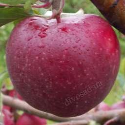 Двухлетние саженцы яблони ОРНАМЕНТ, 2 года