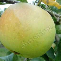 Двухлетние саженцы яблони ПЕПИНКА ЗОЛОТИСТАЯ, 2 года