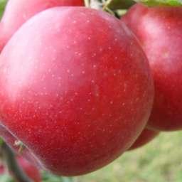 Яблоня ПРИАМ, 5 года
