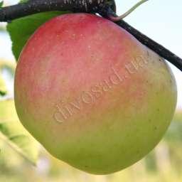 Яблоня СКИФСКОЕ ЗОЛОТО, 3 года