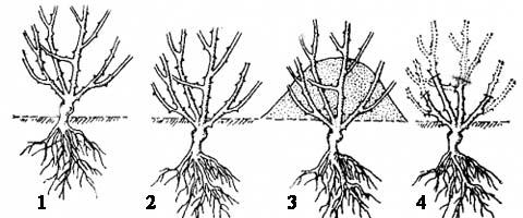 4. Обрезка розы весной.  Растения лучше освобождать от укрытия в пасмурную погоду или вечером, чтобы они не...